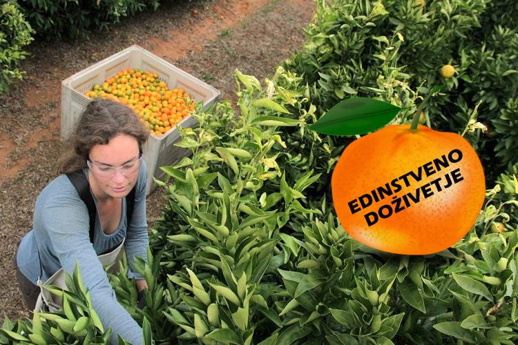 izlet-obiranje-mandarin